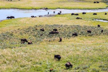 Photo pour Bisons dans le Parc National de Yellowstone, Wyoming, Usa - image libre de droit
