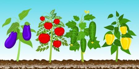 Garden with vegetables. Vector illustration EPS 10.