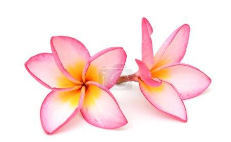 Photo pour Frangipani fleur isolée sur fond blanc - image libre de droit