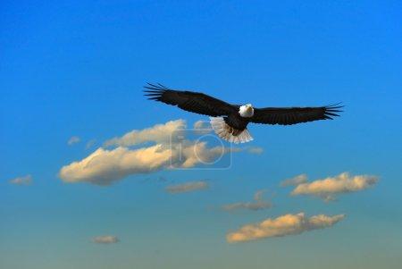 Photo pour Pygargue à tête blanche survolant l'Alaska - image libre de droit