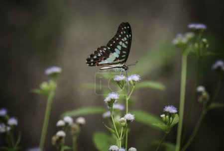This beautiful and elegant butterfly is a change f...