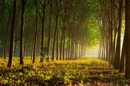 Photo pour Jardin d'arbres en caoutchouc Para avec lumière du soleil, Sud de la Thaïlande - image libre de droit
