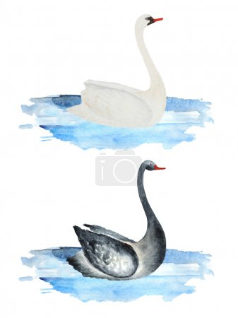 Watercolor black and white swans