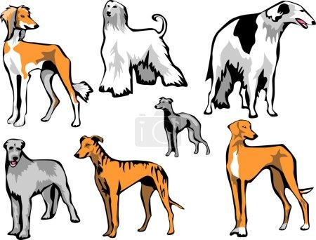 sighthounds - dog breeds