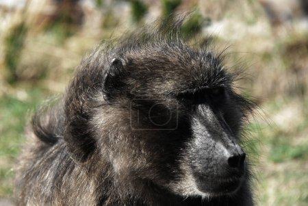 Photo pour Ce Cape Baboon a sauté à côté de moi dans la voiture. C'était effrayant. Il cherchait de la nourriture dans mon sac en plastique.. - image libre de droit
