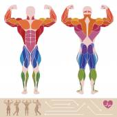 The human muscular system, anatomy, posterior and anterior view,