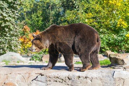 Photo pour Ours brun dans le zoo de Kaliningrad - image libre de droit