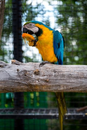 blue macaw eating an orange
