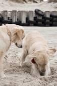 Golden retrievers on beach