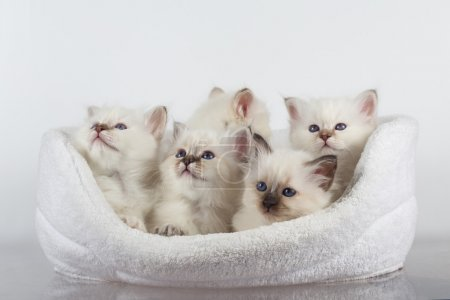 Burma kittens with blue eyes