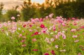 Cosmos flowers in purple, white, pink and red, is beautiful suns