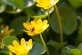 Ficaria verna žlutá jarní květiny jako pozadí