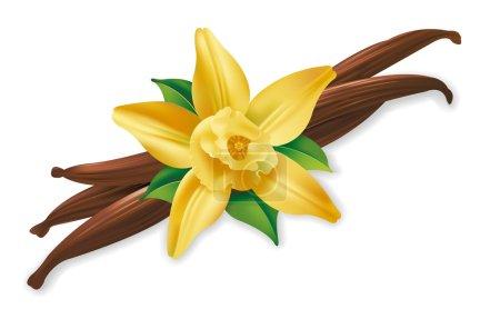 Illustration pour Illustration réaliste de gousses de vanille et de fleurs sur fond blanc - image libre de droit