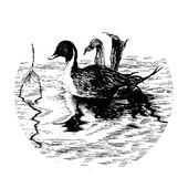Black-white duck in pool