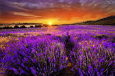 Beautiful landscape of lavender field with setting sun and orange sky