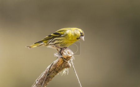 Siskin, Carduelis spinus, male, perched on a branch