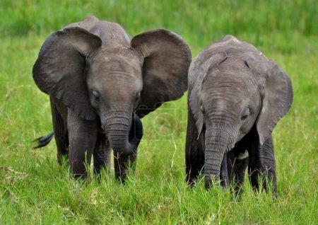 Baby African Elephants in Kenya