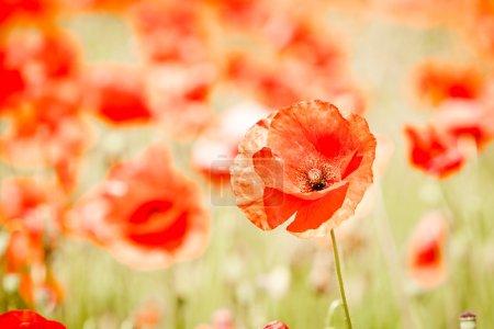 Photo pour Fleurs de pavot rouge dans les champs, gros plan - image libre de droit