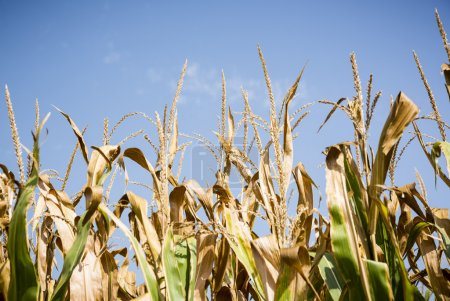 Corn field at harvest