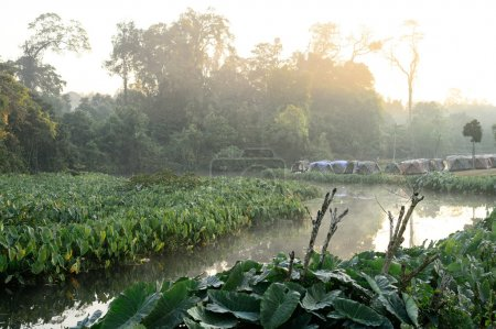 Camping site on Green Elephant Ear Leaves (Colocasia) field
