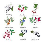 Medicinal berry collection Bird cherry blackthorn viburnum sea-buckthorn blackcurrant rose hip nightshade barberries hawthorn