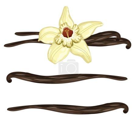 Illustration pour Bâtonnets ou gousses de vanille avec fleur sur fond blanc. Vanille isolée, illustration vectorielle - image libre de droit
