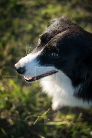 Dog border collie