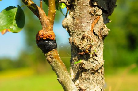 Close up on grafting pear tree  branch in summer. ...