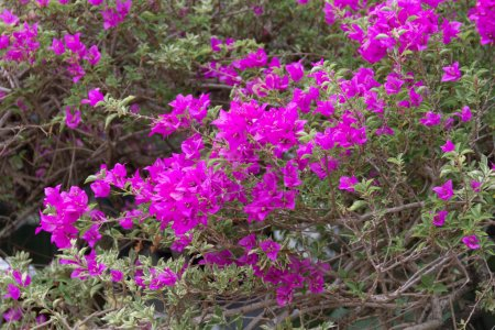Beautiful of Purple Bougainvillea