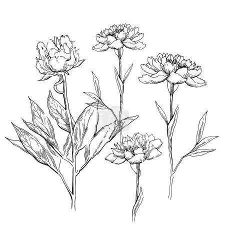 Pink peonies. Vector illustration