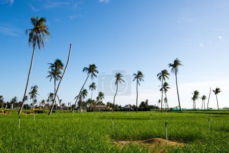 palm trees in the field