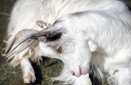 White goat seated