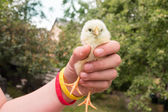 Girl holds small yellow chick in one hand