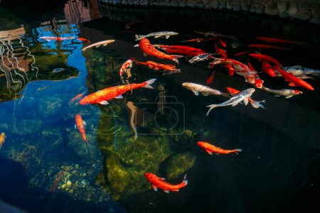 Red gold and white koi fish in a pond