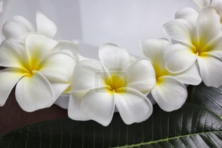 Charm and harmonious white flowers plumeria or frangipani