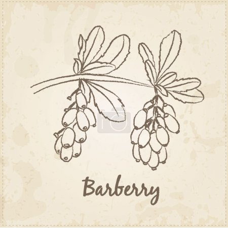 Kitchen hand-drawn herbs and spices, Barberry.