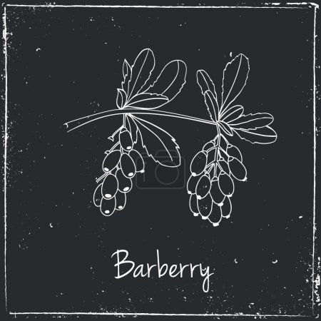 Barberry, Herbs and Spices.