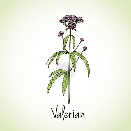 Valerian Herbs and Spices.