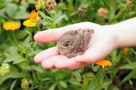 The young bird of the sparrow chicks yellow beak in female hands