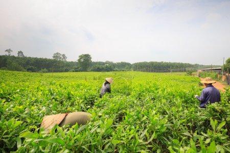 Photo pour Femmes coupe le bourgeon des arbres melaleuca pour autant à Dong Nai, Vietnam. La province de Dong Nai est au Sud-Vietnam. - image libre de droit