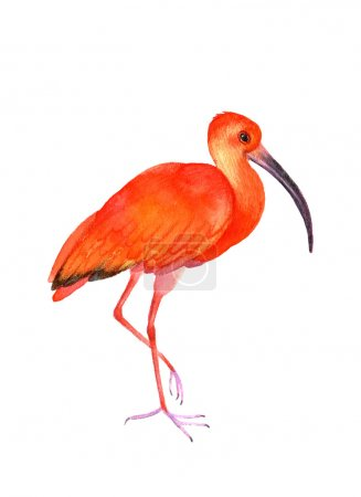 Ibis bird on the white background.  Watercolor ill...