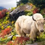 Wild white yak (bull) in Himalayas....