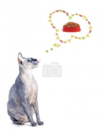 Photo pour Chat sphynx canadien noir ou bleu avec des yeux verts isolé sur fond blanc - image libre de droit