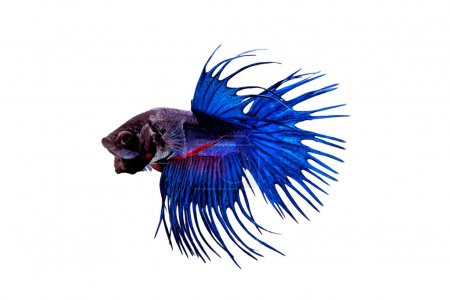 Blue Siamese fighting fish (Betta splendens) isolated on white background.