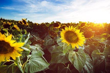 Photo pour Beaux tournesols dans le champ avec ciel nuageux - image libre de droit
