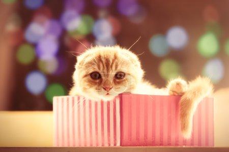Portrait of Scottish Fold kitten