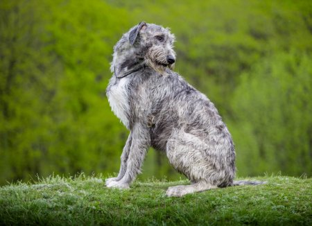 Irish Wolfhound sit on a green grass