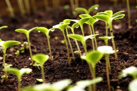 Photo pour Planter des Gaules - nouvelle vie - image libre de droit