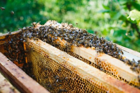 Swarm of bees on beehive with wooden frames of honeycomb inside