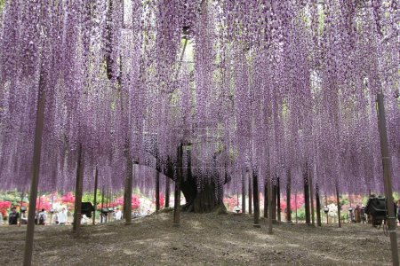 Wisteria flowers at Ashikaga Park